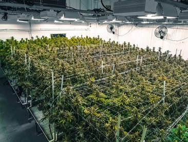 Commercial cannabis grower