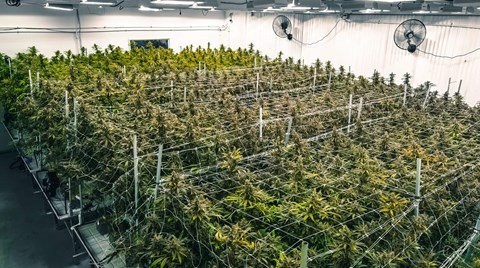 The cannabis growing and extraction process puts workers at risk of gas-related hazards. Find out what employers can do to keep them safe.