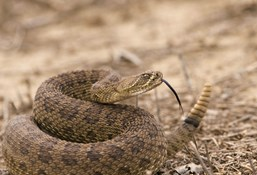 Safety and rattlesnakes